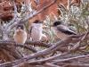 pied-butcherbird-fledglings-kennedy-range-ntl-pk-wa
