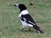 pied-butcherbird-hat-head-ntl-pk-nsw