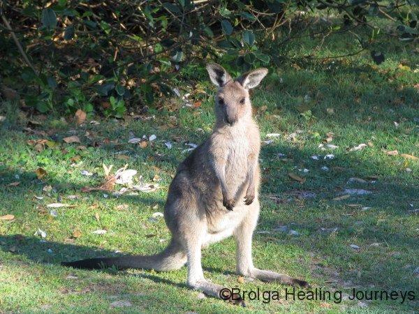 Eastern Grey Kangaroo joey, Hat Head National Park, NSW