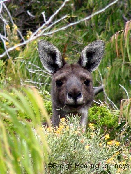 The Giant!  Male Western Grey Kangaroo, West Cape Howe Ntl Pk, WA