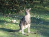 Eastern Grey Kangaroo joey, Hat Head National Park, NSW