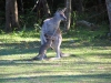 First steps!  Mother Eastern Grey Kangaroo with her tiny joey, Hat Head Ntl Pk