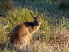 Eastern Grey Kangaroo, Crowdy Bay Ntl Pk, NSW