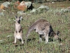 Female and joey Western Grey Kangaroos after rain, Warrumbungle National Pk, NSW