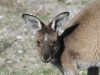 Close-up, female Western Grey Kangaroo, a regular visitor to the campground, Innes Ntl Pk, Sth Aust