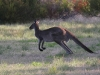 On your marks! Western Grey Kangaroo, Innes Ntl Pk