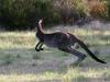 Get set! Western Grey Kangaroo, Innes Ntl Pk