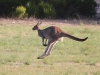 Go!  Western Grey Kangaroo, Innes Ntl Pk
