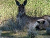 Western Grey Kangaroo with joey in pouch, Mungo Ntl Pk NSW