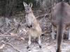 Western Grey Kangaroo, joey, Northcliffe, SW WA