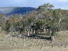 A mob of Eastern Grey Kangaroos, Namadji National Park, ACT.  Snow on hills.