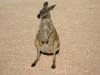 Western Grey Kangaroo, Cape Range Ntl Pk, Northwest Cape, WA