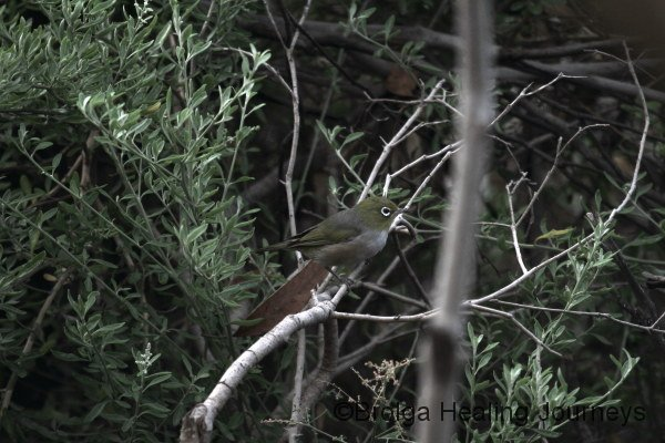 A tiny Silvereye near our campsite.  These beautiful little birds were everywhere