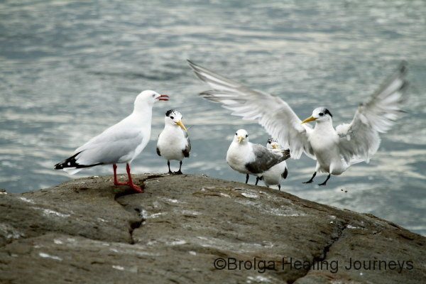 A Tern lands under the watchful eye of gulls and terns