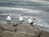 Three Terns