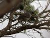 White-browed Scrub Wren