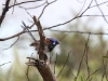 Male Blue Breasted Fairy Wren