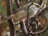 Yet another White-Browed Scrub Wren