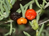 Saltbush fruit at different stages of maturity.  The dark one is edible. Each about 6mm across