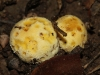 Golden puff-ball toadstools