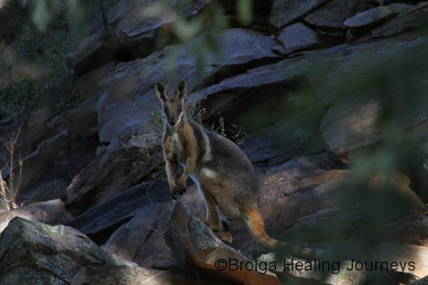 A Yellow Footed Rock Wallaby looks on, late afternoon