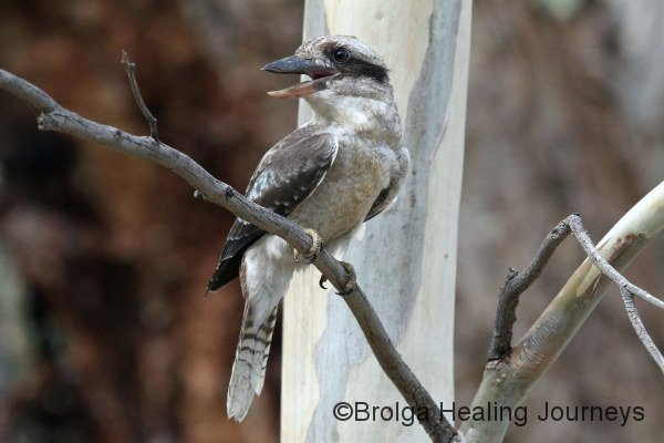 Laughing Kookaburra near campsite