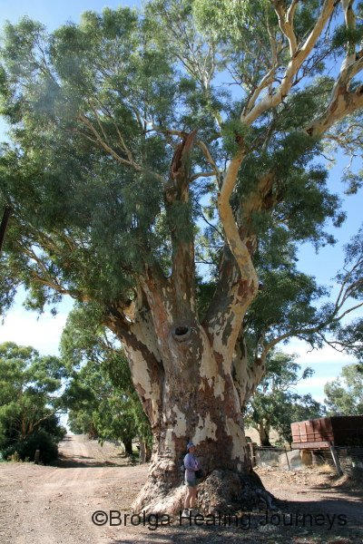 Magnificent Red Gum in the middle of one of Melrose's streets.  Nirbeeja at base.