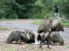 Father Emu keeps watch as offspring drink from dish.  Mt Remarkable Ntl Pk, South Aust