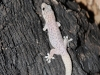 Gecko - sorry, don't know the species