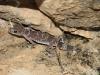 Barking Gecko  (Nephrurus milii)