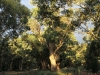 A majestic River Red Gum in late afternoon sunshine