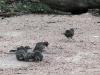 White-Browed Babblers enjoy a dust bath
