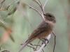Grey Shrike Thrush, I think