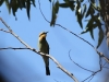 Rainbow Bee-eater seen during Mt Remarkable summit hike