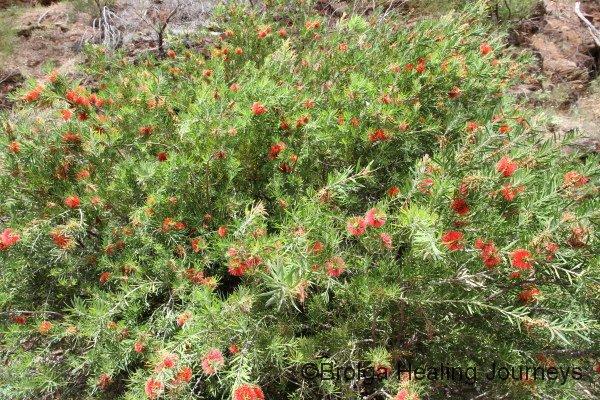 One of the many huge Bottlebrush shrubs on the Hidden Valley walk