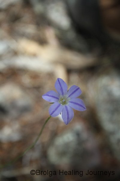 Unusual striped Bluebell