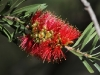 Crimson Bottlebrush.  The walk along Hidden Gorge was lined with these.