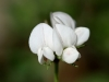 Native pea flower - unusual to see white
