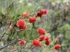 Yet more Crimson Bottlebrush.  I couldn't resist another photo.