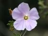 Close-up of native hibiscus