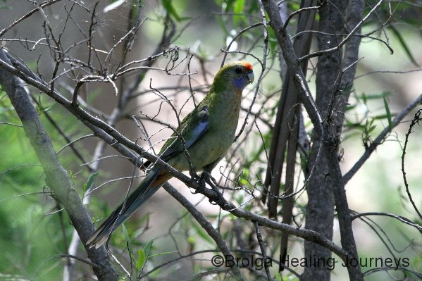 Adelaide Rosella - a relative of the Crimson Rosella of the eastern states.