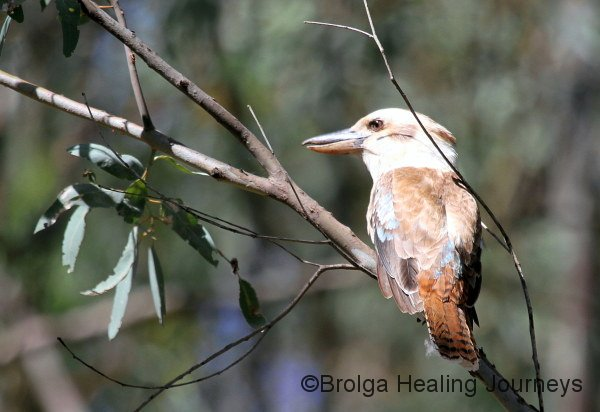 Kookaburra sits in the old gum tree.