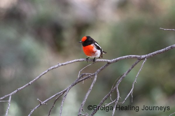 Male Red-Capped Robin.  This little fellow was really annoyed that we were in his territory.