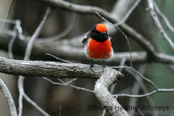 Another shot of the male Red-Capped Robin