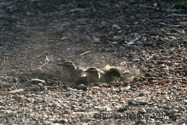 White-Browed Babblers enjoy a dust-bath