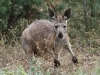 A young Wallaroo (Euro)