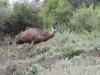 Emu on the move
