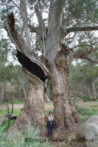 Nirbeeja stands inside the base of a hollowed-out River Red Gum.  Some of the trees are enormous
