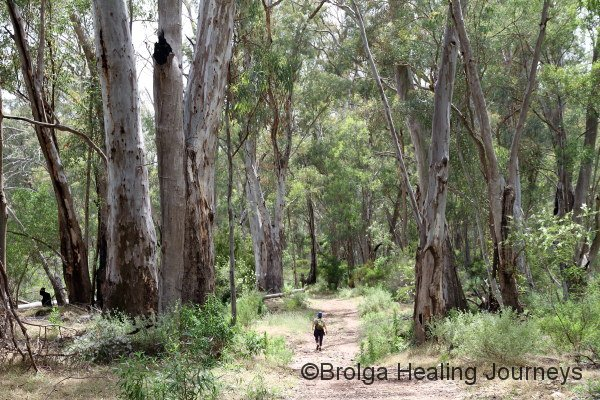 Nirbeeja, dwarfed by the River Red Gums, walks up the Mambray Creek track.