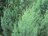 White Cypress Pines